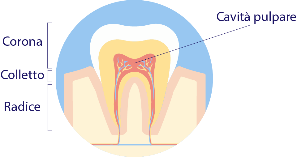 Il dente: come è fatto